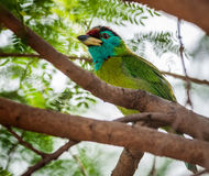 De vogel, blauw-Throated Barbet op een boomtak die wordt neergestreken Stock Foto's