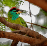 De vogel, blauw-Throated Barbet op een boomtak die wordt neergestreken Royalty-vrije Stock Foto