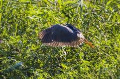 De vogel in de vijver Royalty-vrije Stock Afbeelding