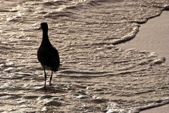 De vogel die van de strandloper in overzees loopt Stock Fotografie