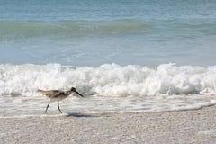De Vogel die van de strandloperkust in Oceaan op Strand lopen Royalty-vrije Stock Foto