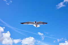 De vogel die van de zeemeeuw in de blauwe hemel vliegt Stock Foto