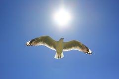 De vogel die van de zeemeeuw naar zon vliegt Stock Foto