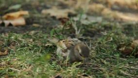 De vogel die van Nice insecten zoeken in gras Mooie aard Het behoud van het milieu stock video