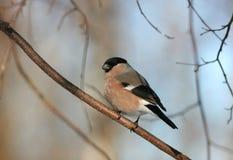 De vogel een goudvink zit op een tak in het Park Stock Afbeelding