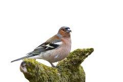 De vogel is een Vink die zich op een tak met mos op een wit bevinden is Stock Foto