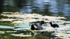 De vogel en de baby van het waterhoen Stock Fotografie