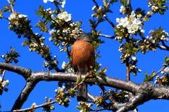 De vogel en het bloeien Cherry Tree van Robin. Royalty-vrije Stock Afbeeldingen