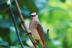 De vogel finches de kleur van het zwarte borstwit op de boomtak royalty-vrije stock foto's