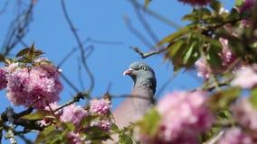 De vogel grijze bloesem van de duifduif stock footage