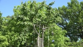 De vogel maakt en beschermt bessen met CD-schijven op kersenboom bang 4K stock footage