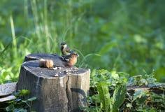Vogel op een stomp met nutlets Stock Foto's