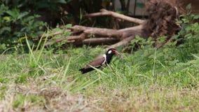 De vogel, rood-Wattled zich op de grond bevinden en kievitvogel die luid schreeuwen stock video