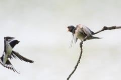 De vogel is slikt vliegen aan de vogel met insect in bek stock foto's