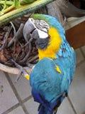 De vogel van Arara stock afbeeldingen