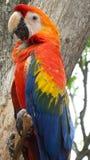 De vogel van aronskelkenmacao, sluit omhoog ara Royalty-vrije Stock Afbeelding