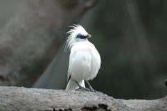 De Vogel van Asain Royalty-vrije Stock Foto's