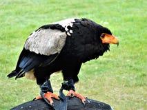 De vogel van bidt Stock Foto