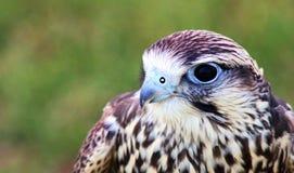 De vogel van bidt Royalty-vrije Stock Foto