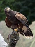De vogel van Buteo Stock Afbeeldingen
