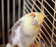 De vogel van Cockatiel in een kooi Royalty-vrije Stock Foto