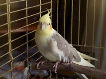 De vogel van Cockatiel in een kooi Stock Foto's