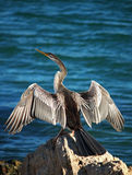 De vogel van de aalscholver op Rots royalty-vrije stock fotografie