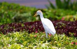 De Vogel van de aigrette Stock Fotografie
