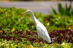 De Vogel van de aigrette Royalty-vrije Stock Afbeelding