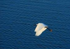 De Vogel van de aigrette Stock Foto