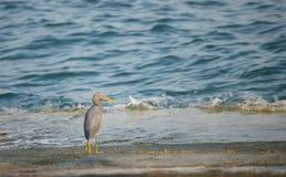 De Vogel van de aigrette door het Overzees Royalty-vrije Stock Afbeelding