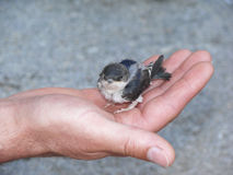 De vogel van de baby Stock Foto's