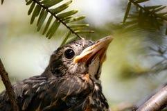 De Vogel van de baby in Nest Royalty-vrije Stock Foto's
