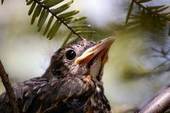 De Vogel van de baby in Nest Stock Foto