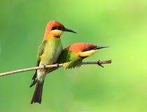 De Vogel van de bijeneter Royalty-vrije Stock Foto's