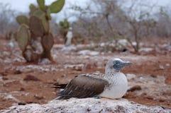 De vogel van de domoor. Stock Afbeeldingen
