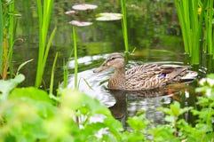 De vogel van de eend gardenpond royalty-vrije stock afbeelding