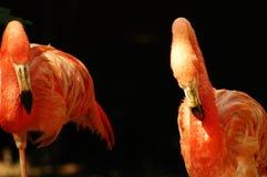 De vogel van de flamingo Royalty-vrije Stock Afbeeldingen