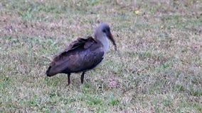 De Vogel van de Ibis van Hadeda Stock Afbeelding