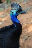 De Vogel van de kasuaris Stock Afbeeldingen