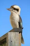 De vogel van de kookaburra Stock Foto's