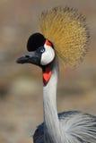 De vogel van de kroon Royalty-vrije Stock Fotografie