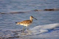 De vogel van de kust Stock Foto