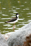De vogel van de kust op rotsen door meer Royalty-vrije Stock Foto