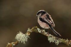 De vogel van de Longtailmees Royalty-vrije Stock Fotografie