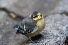 De vogel van de mees Royalty-vrije Stock Afbeelding