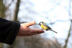De vogel van de mees. Royalty-vrije Stock Afbeeldingen