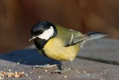 De vogel van de mees op de voerplaats Stock Fotografie