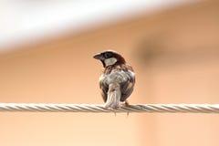 De Vogel van de mus Stock Foto's