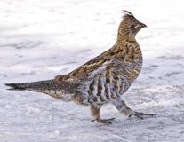 De Vogel van de patrijs Stock Foto's